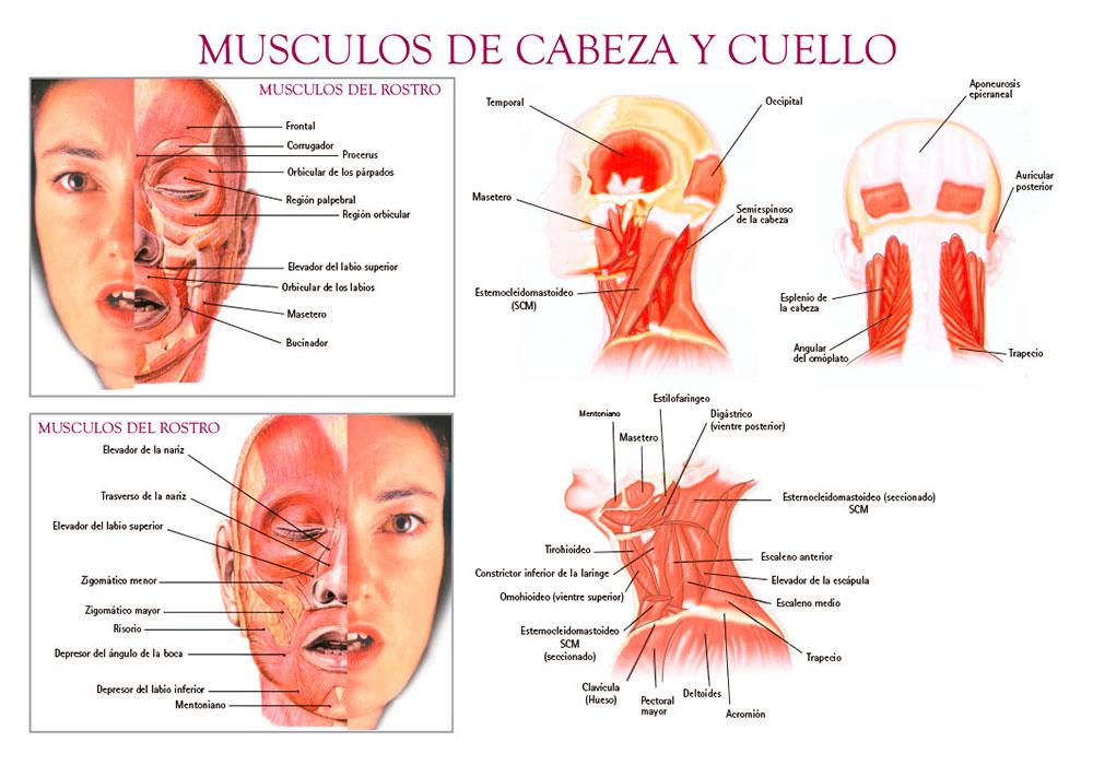 Músculos de cabeza y cuello