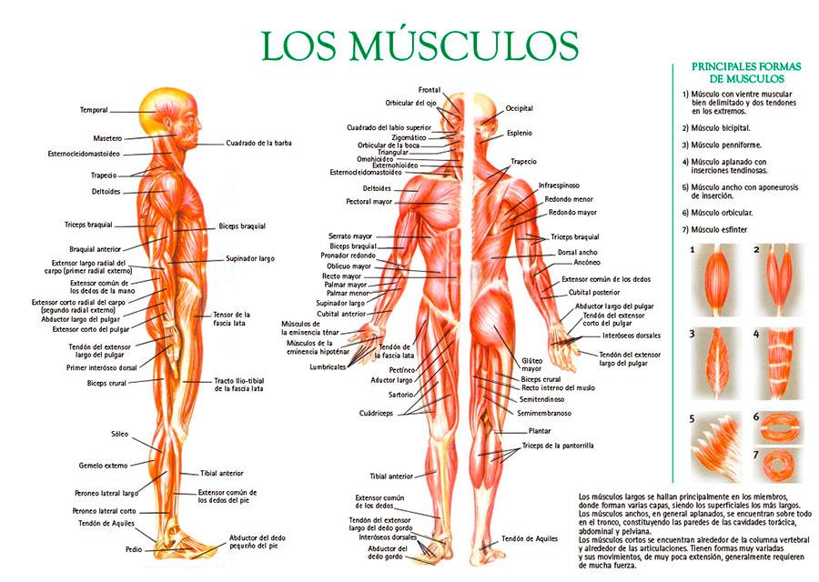 Músculos del cuerpo