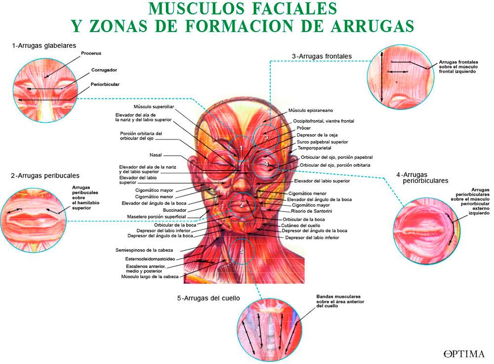 Músculos faciales y zonas de arrugas